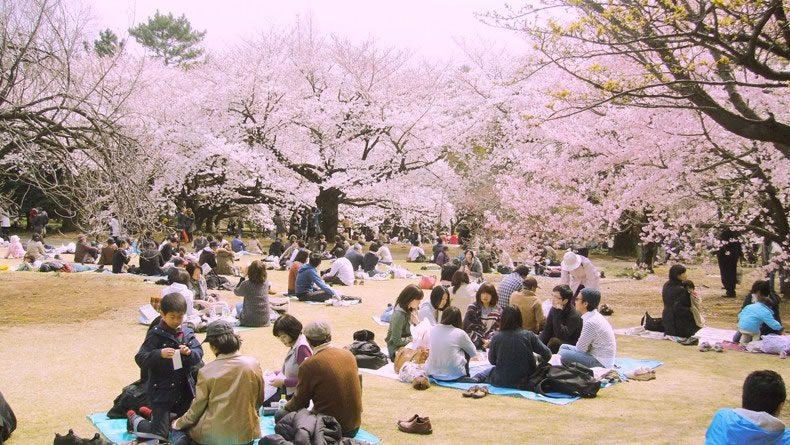 Hanami – Celebrating Cherry Tree Blossom