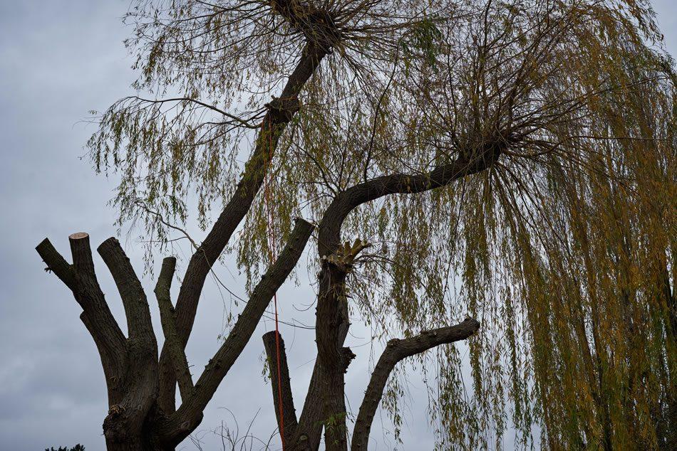 Tree Pollarding in South Bucks