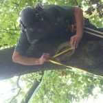 Tree surgeon tying a tree to be removed in Aylesbury