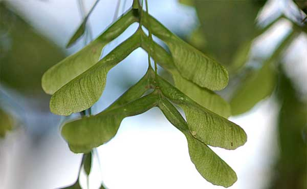 Ash tree keys winged fruits
