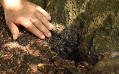 Kretchzmaria Deusta Common Tree Fungus