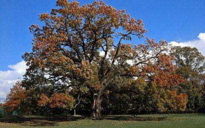 The English Oak