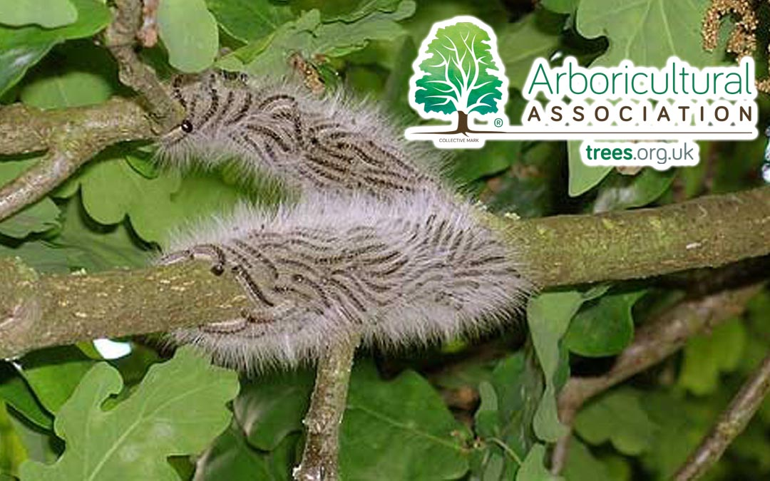 Oak Processionary Moth Management Specialist Oxfordshire & Buckinghamshire