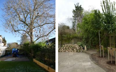 Felling & Replacement of a Protected Ash Tree in Long Crendon, South Bucks
