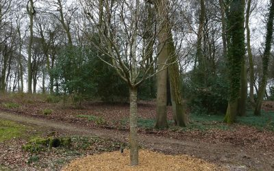 Large Tree Planting Job on Chinnor Hill in Oxfordshire
