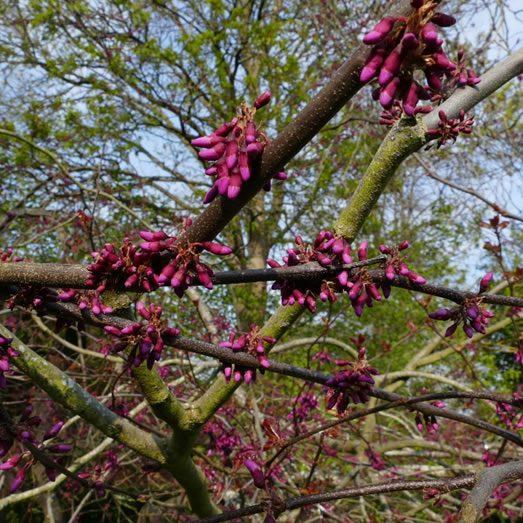 Tree pruning by Marlow tree surgeons