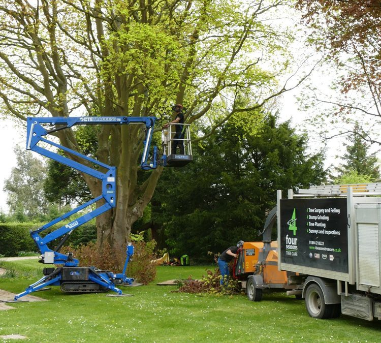 Tree Surgery For Large Cappadocian Maple In Princes Risborough