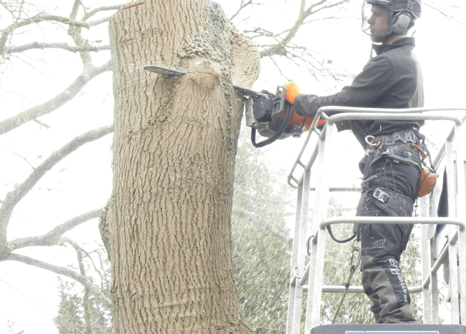 Diseased Ash Tree Felling In Oxford