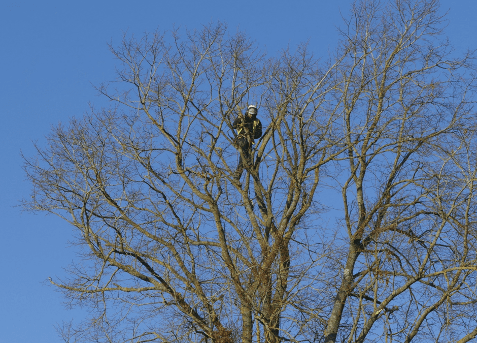 Tree Surgery Work On TPO Tree Near Aylesbury