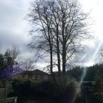 crown reduction on beech tree Princes Risborough