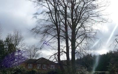 Crown Reduction Work On Veteran Beech Tree In Princes Risborough