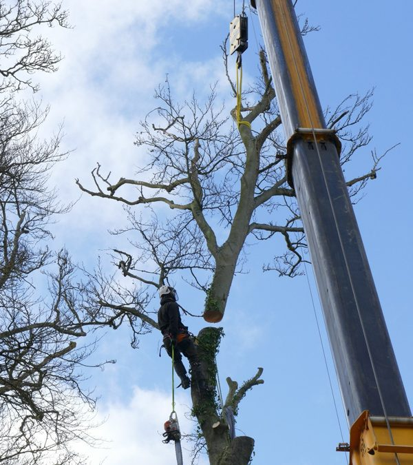 Dangerous Beech Tree Felled & Removed In Watlington, South Oxon