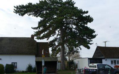 Tree Surgery Work On Pine Tree In South Bucks