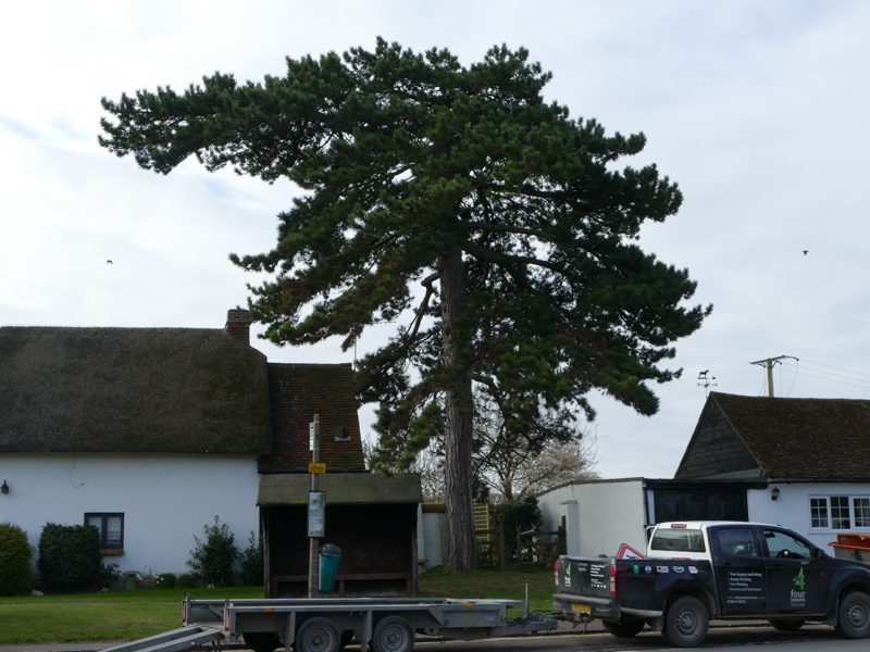 Tree Surgery Work On Pine Tree In South Bucks