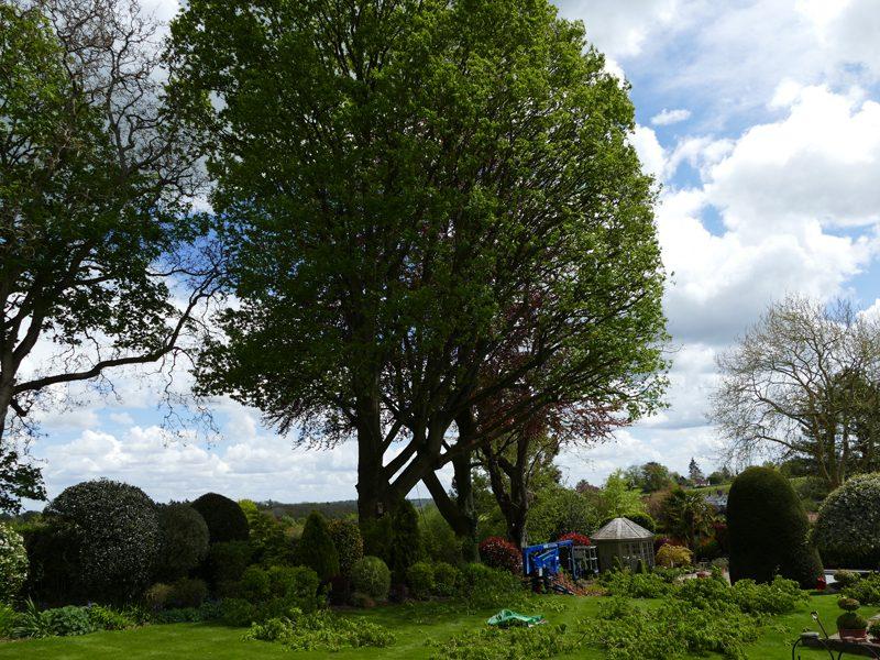 oak and beech tree pruning