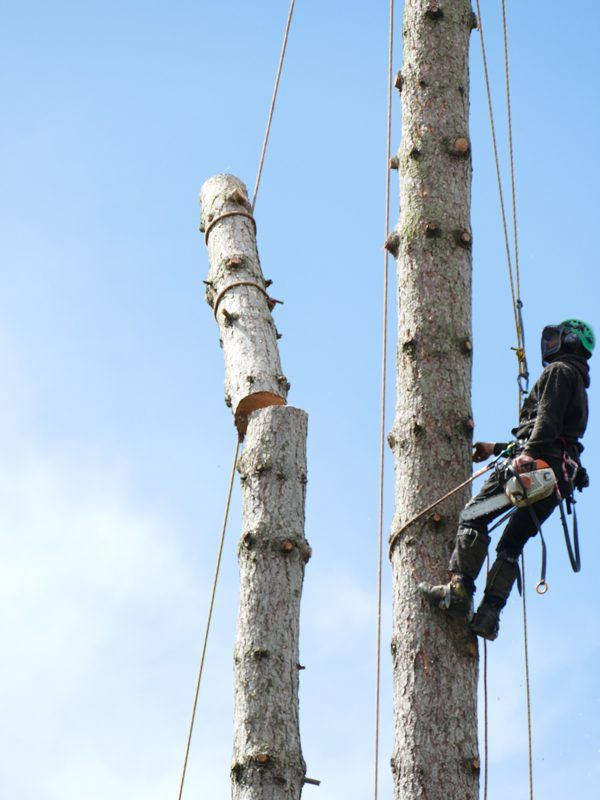 pine tree removal oxford
