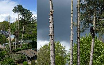 Large pine tree removal and sectional felling in Oxford