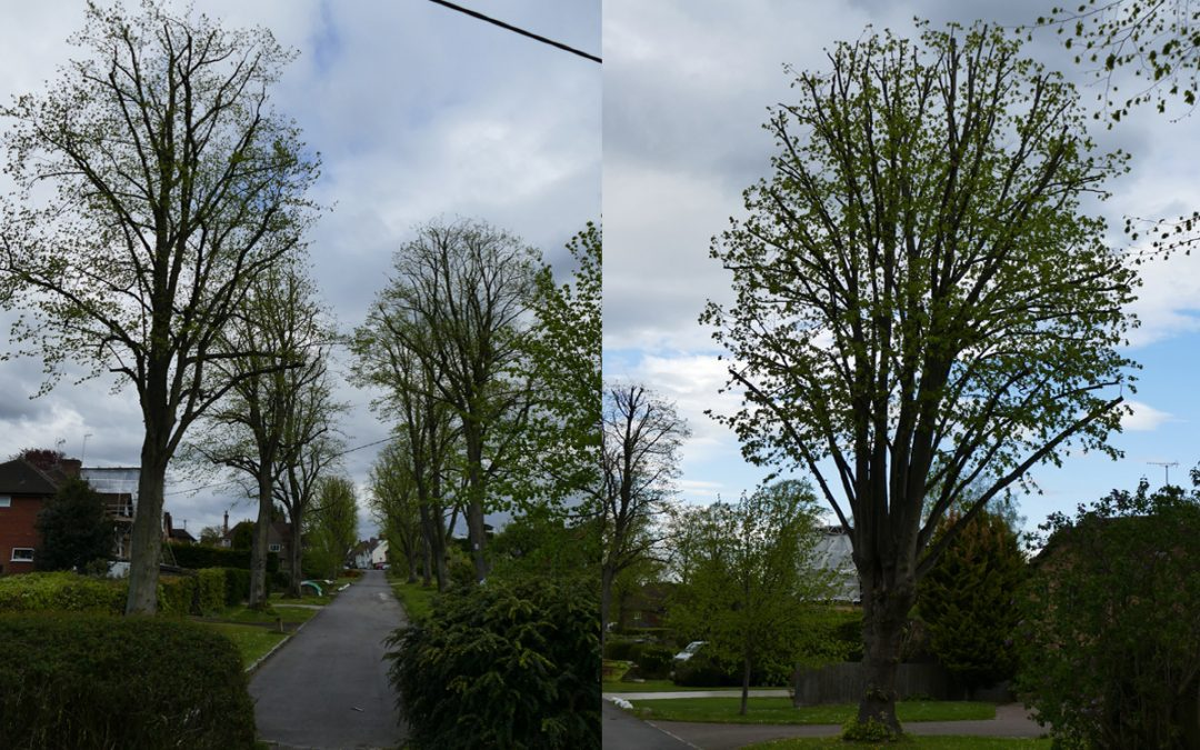 Crown Reduction to avenue of protected Lime trees in Princes Risborough